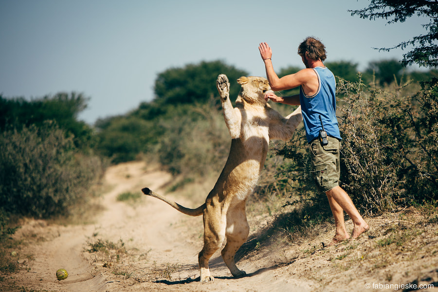 Photograph Lion High Five by Fabian Gieske on 500px