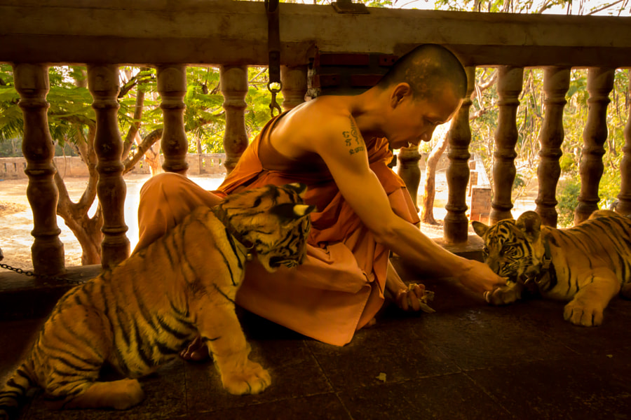 Buddhist Monk feeding Tiger Cubs by Captured Raw on 500px.com