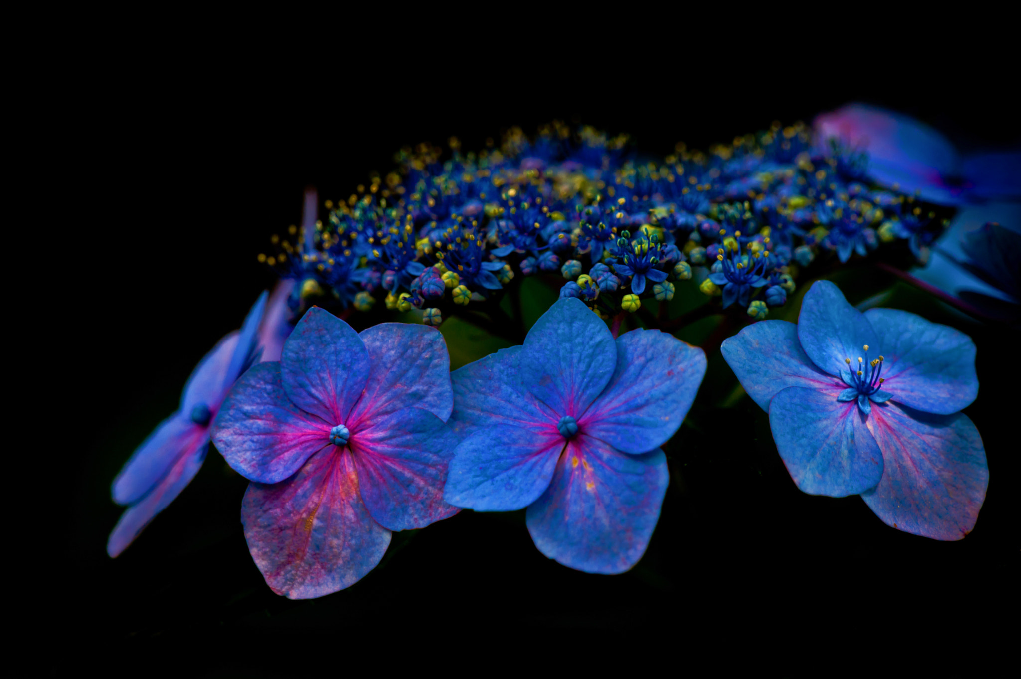 Photograph Hydrangea by Jeff Graham on 500px