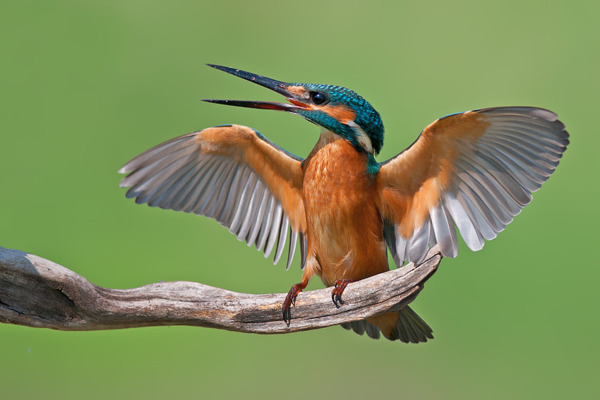 Photograph Common Kingfisher by nissim levi on 500px