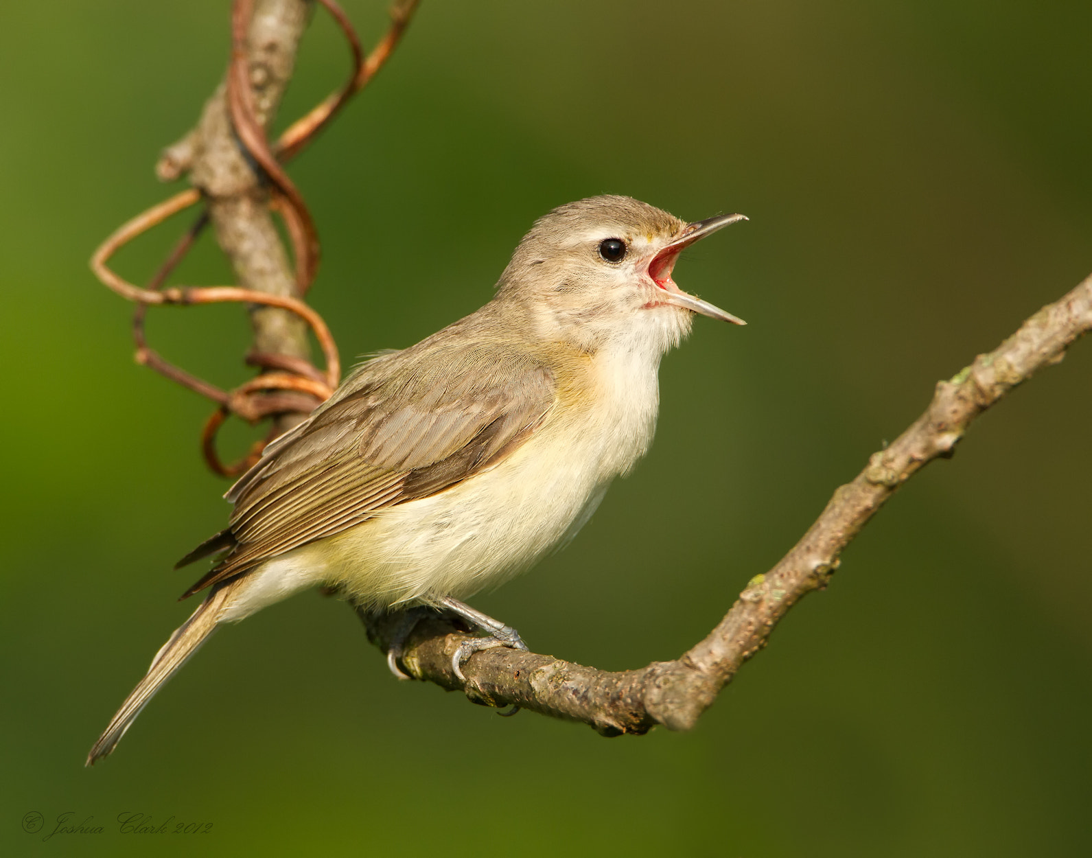 Photograph Warbling Vireo by Joshua Clark on 500px
