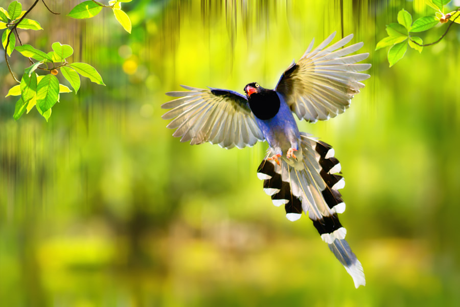 Photograph Taiwan blue magpie flying by FuYi Chen on 500px