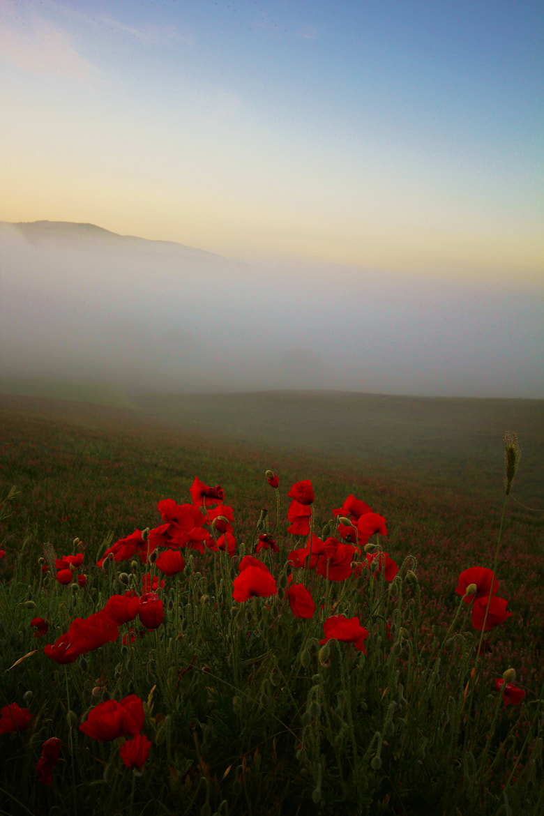 Photograph Field of poppies by Elisa Bistocchi on 500px