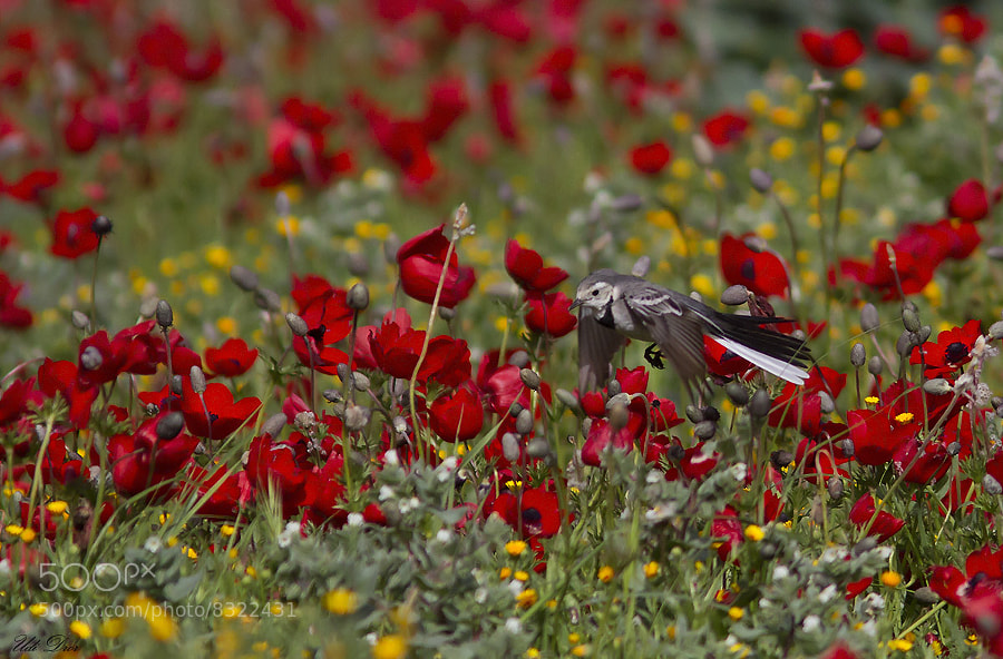 Photograph Wagtail over a  anemones filds  by udi  dror on 500px