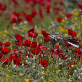 Wagtail over a  anemones filds  by udi  dror (drorudi1)) on 500px.com