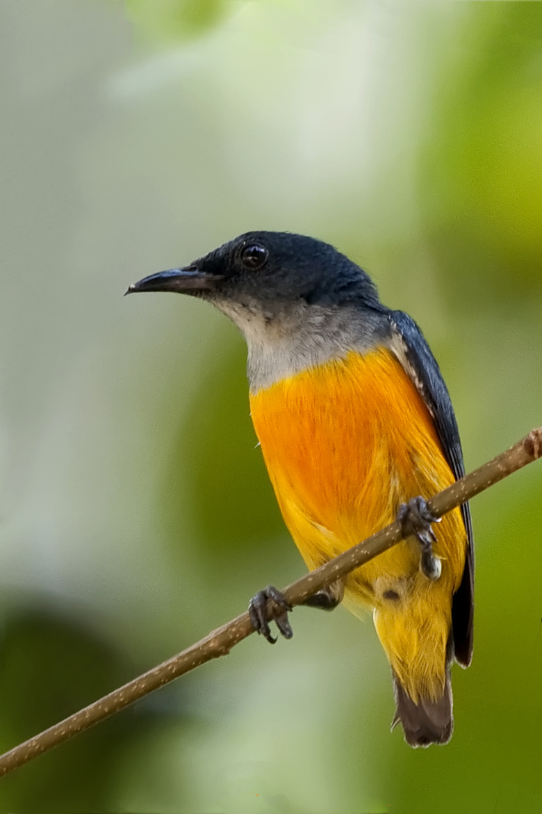 Photograph Orange-breasted Flycatcher by Allan Seah on 500px