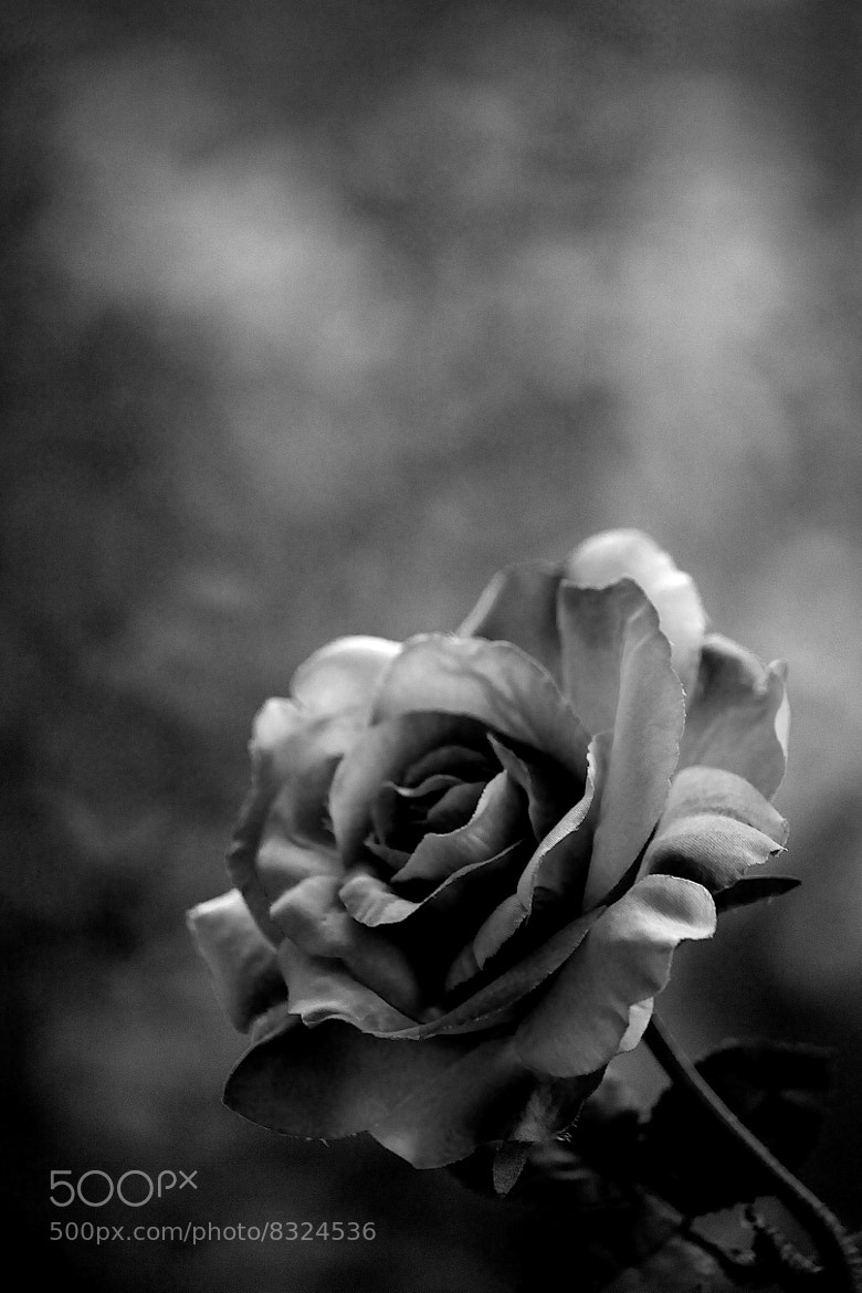 Photograph Shadow Rose by James Johnson on 500px