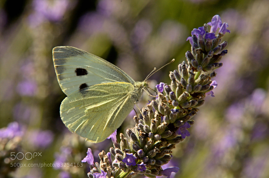 Photograph cabbage white butterfly by paul andrews on 500px