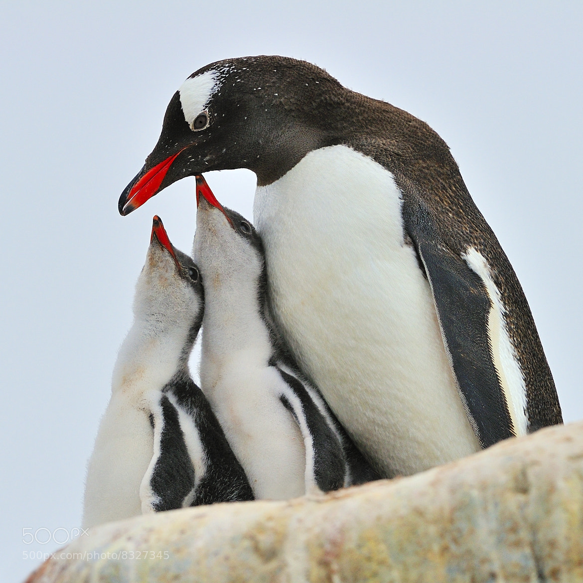 Photograph Gentoo Feeding Time by Tony Beck on 500px