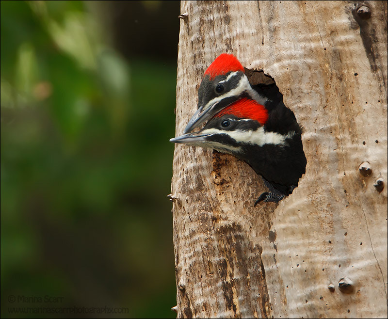 Photograph Pileated Woodpecker Nuzzle by Marina Scarr on 500px