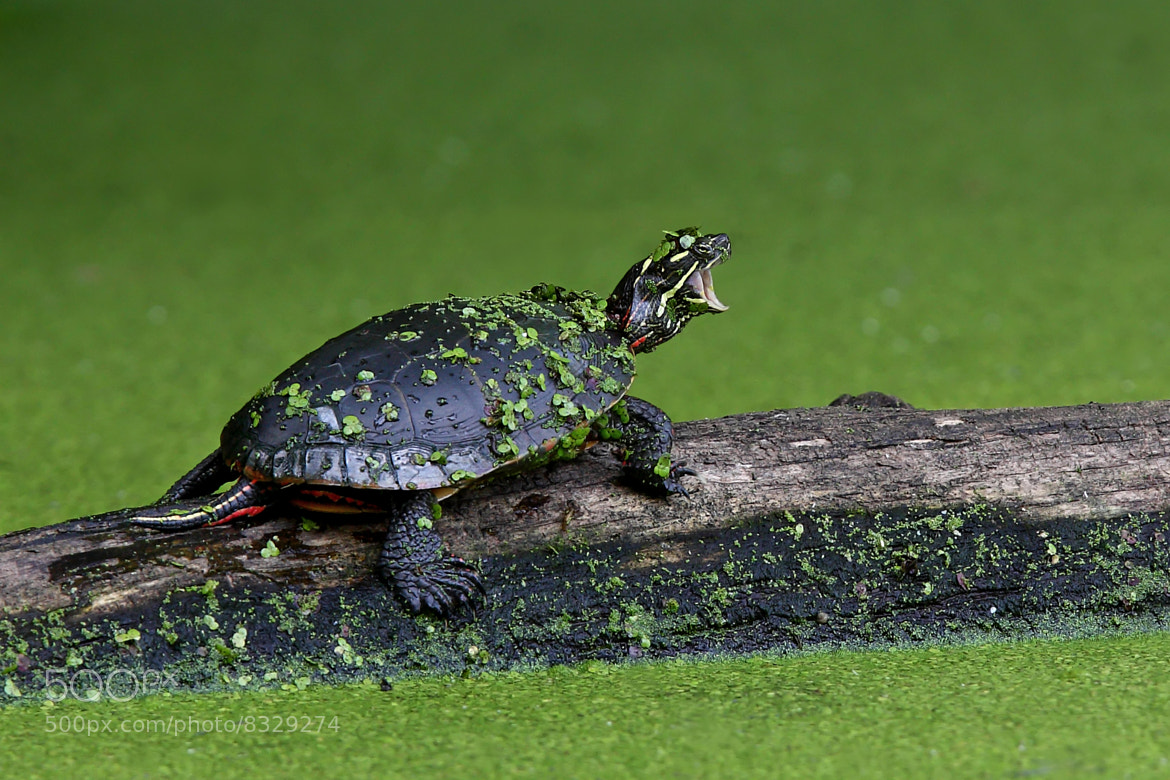 Photograph I am Turtle, hear my roar! by Jim Cumming on 500px