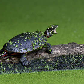 I am Turtle, hear my roar! by Jim Cumming (JimCumming)) on 500px.com