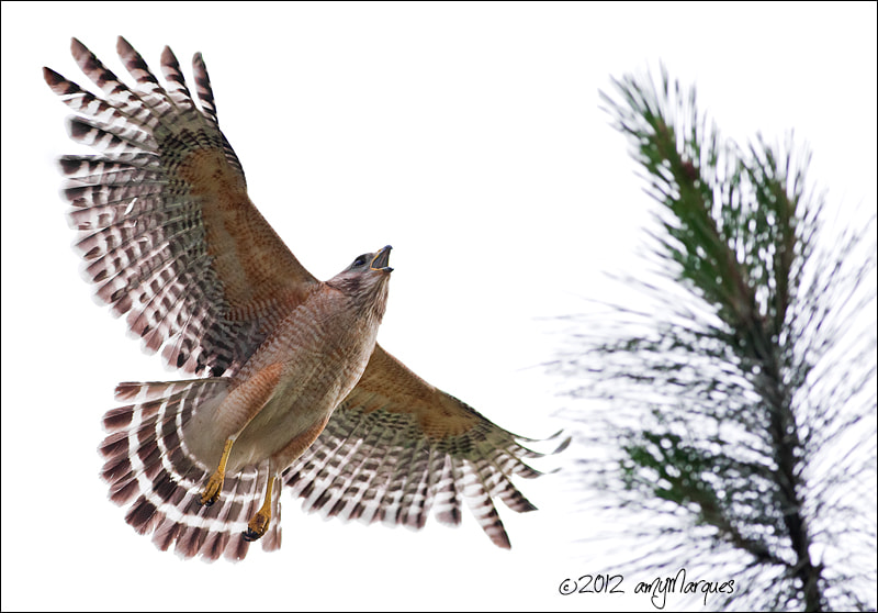 Photograph High Key Red-shouldered Hawk by Amy Marques  on 500px