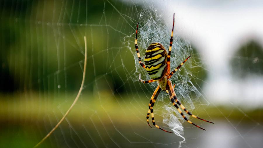 Itsy bitsy ... BIG spider