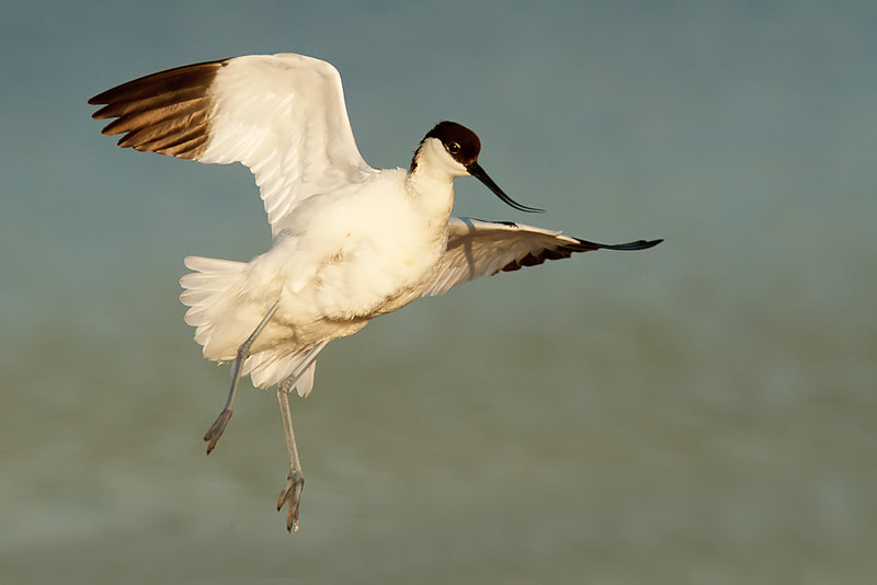 Photograph Avocet by Tom  Kruissink on 500px