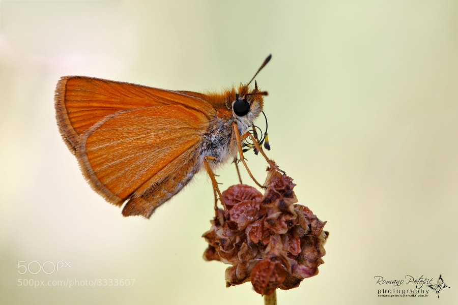 Photograph Thymelicus sp. by Romano Petesic on 500px
