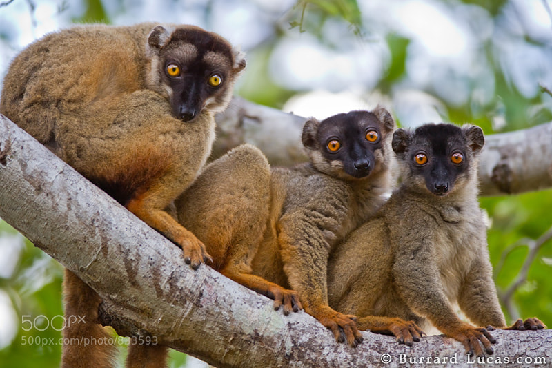 Brown Lemurs.
