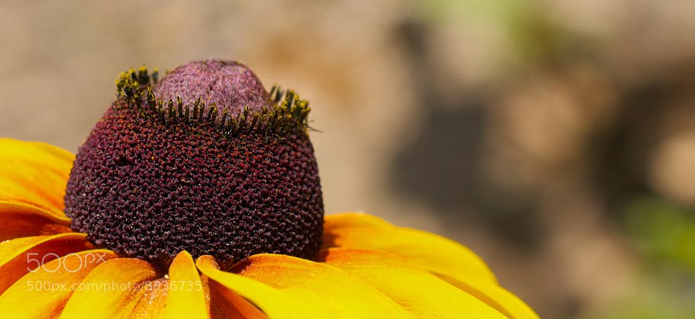 Photograph Baldness Rose ! by jamil ghanayem on 500px