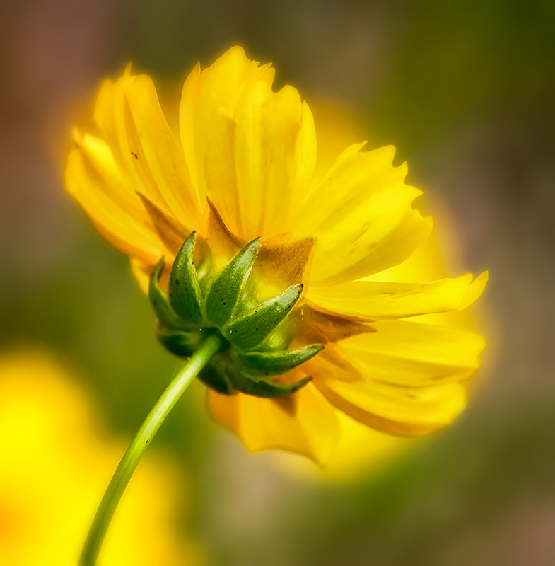 Photograph A Study in Yellow 23 by wendy  on 500px