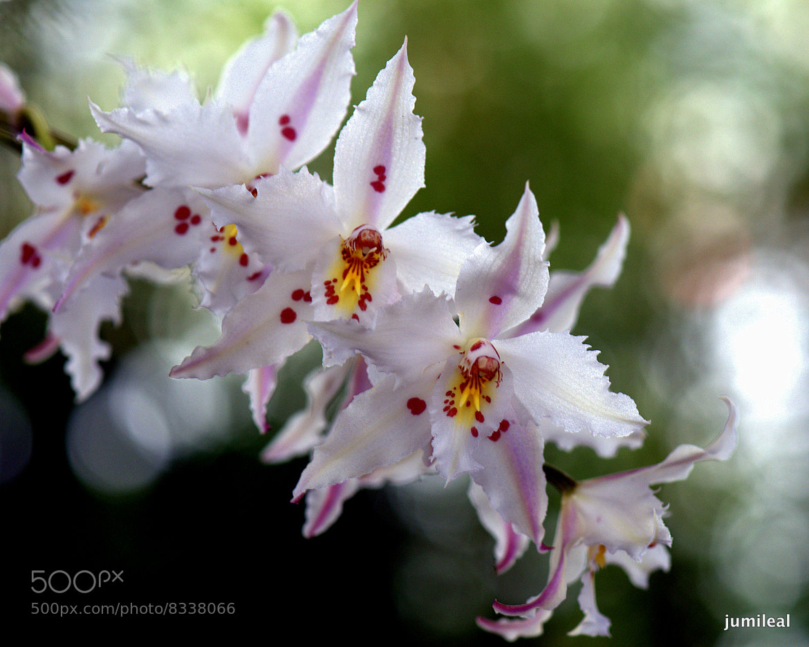 Photograph ORQUIDEA by .........JuMiLeAl.  on 500px