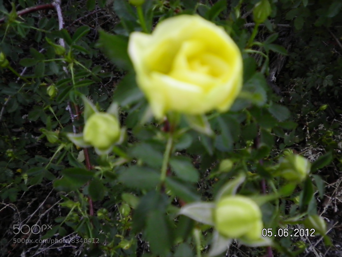 Photograph Yellow Rose  by Kim Vaughn Sowards on 500px