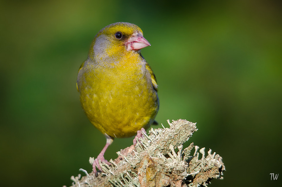 Photograph Greenfinch by Trond  Westby on 500px