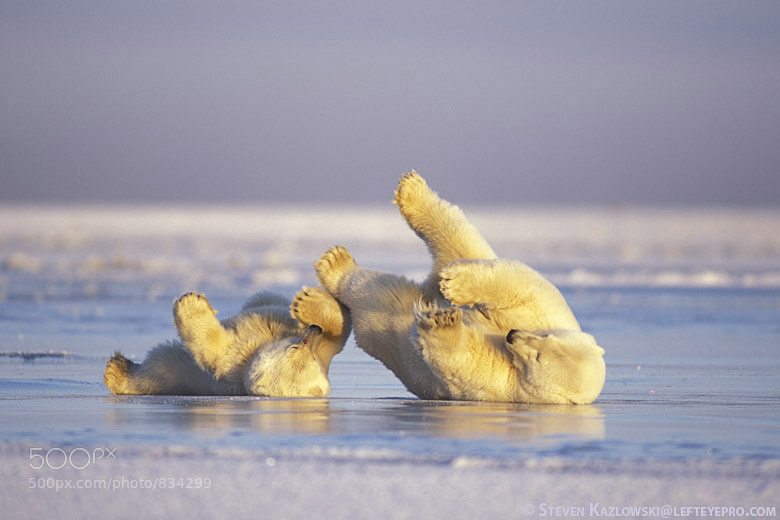 Photograph Polar Bears Rolling by Steve Kazlowski ❘ LeftEyePro on 500px