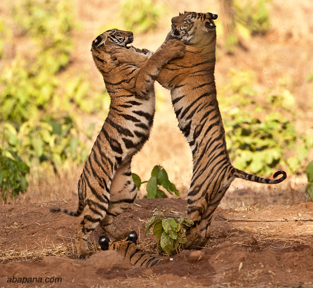 Photograph Tiger Cubs in the wild by AB Apana on 500px