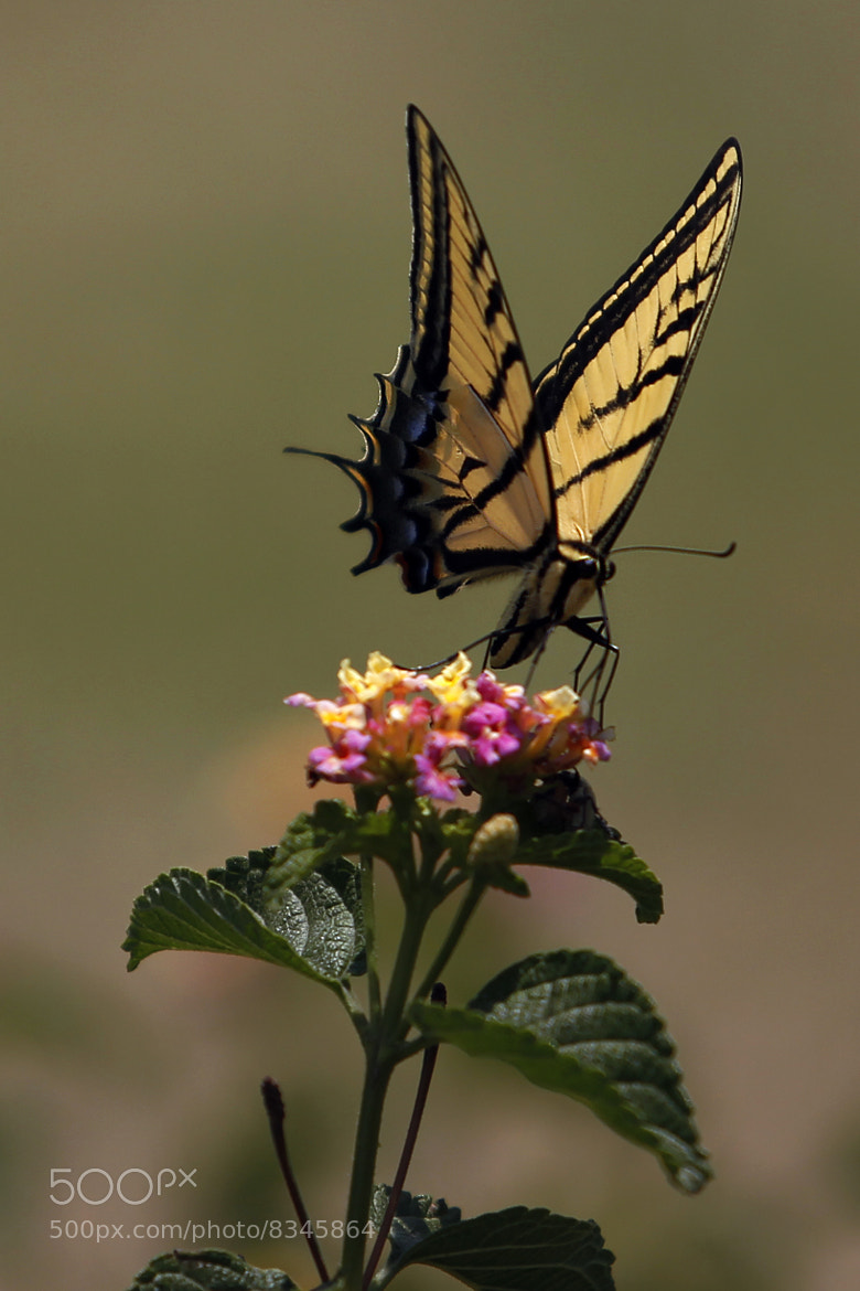 Photograph The best Butterfly  11 am.. 9 dislikes :-) by Cristobal Garciaferro Rubio on 500px