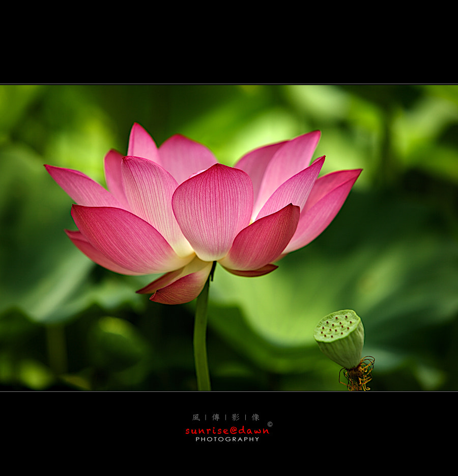 Photograph lotus 3 by Daniel Dawn 風傳影像 on 500px