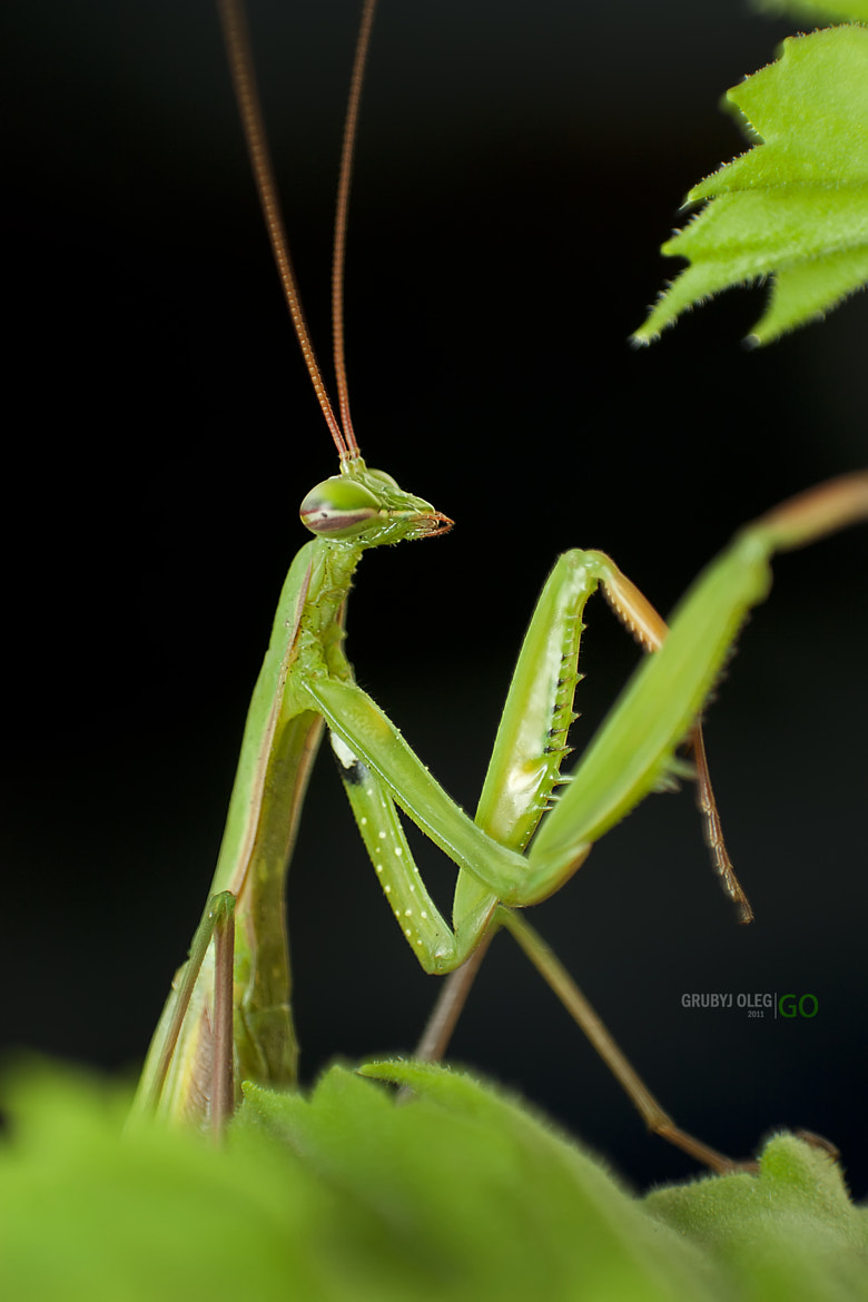 Photograph Mantis religiosa by Grubyj Oleg on 500px