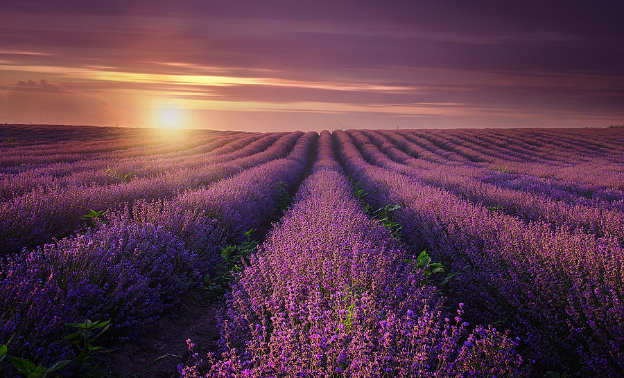 Lavender Dream by Albena Markova on 500px.com