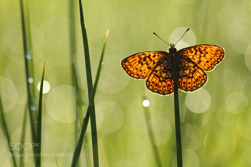 Photograph Backlight Bog fritillary by Johannes van Donge on 500px