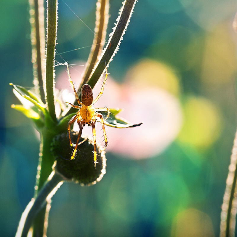 Photograph sunny spider by Yulia Pletinka on 500px