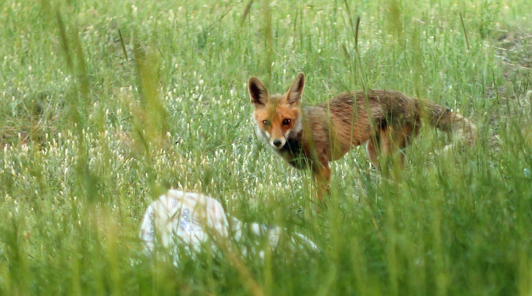Photograph Red Fox  by prof  macit on 500px