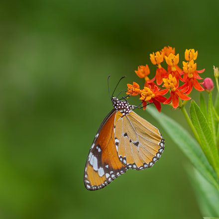Plain Tiger Butterfly