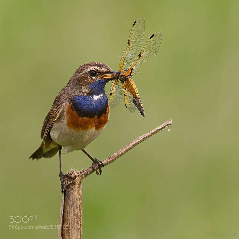 Photograph Great Catch !! - Bluethroat by Siegfried Noët on 500px