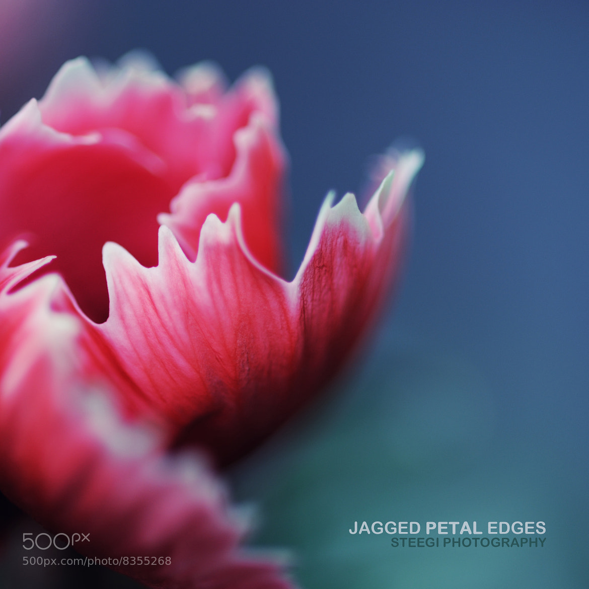 Photograph Jagged Petal Edges by Andreas Steegmann on 500px