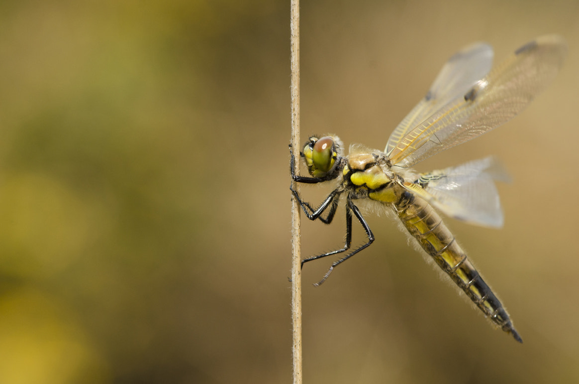 Photograph Dragonfly by Elinor James on 500px