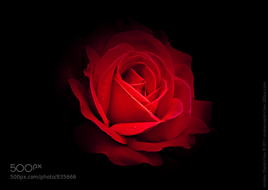 Photograph Red Rose by Andrey  Ospishchev on 500px