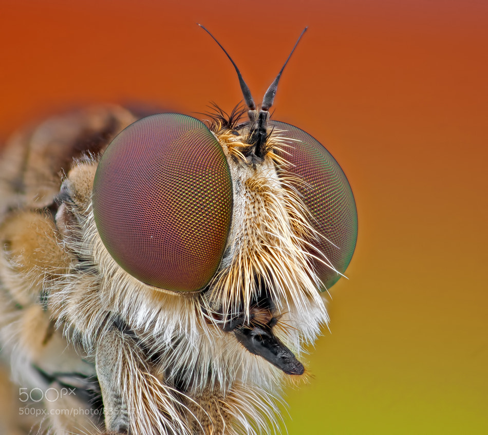 Photograph   Robber fly 2 by Omid Golzar on 500px
