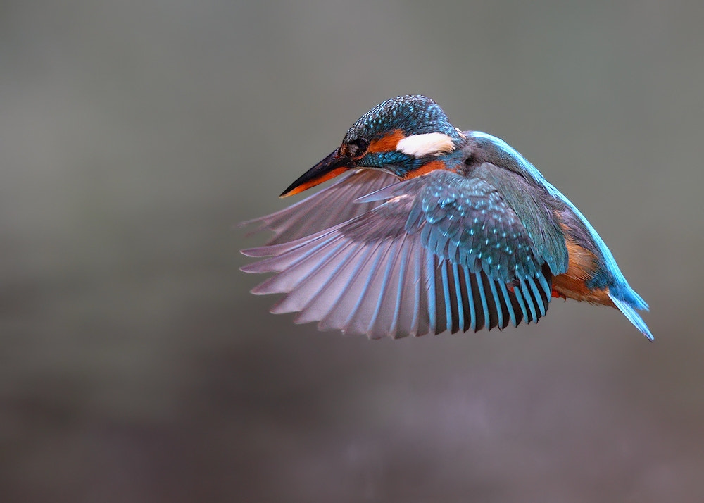 Photograph Female Kingfisher by Karen Summers on 500px