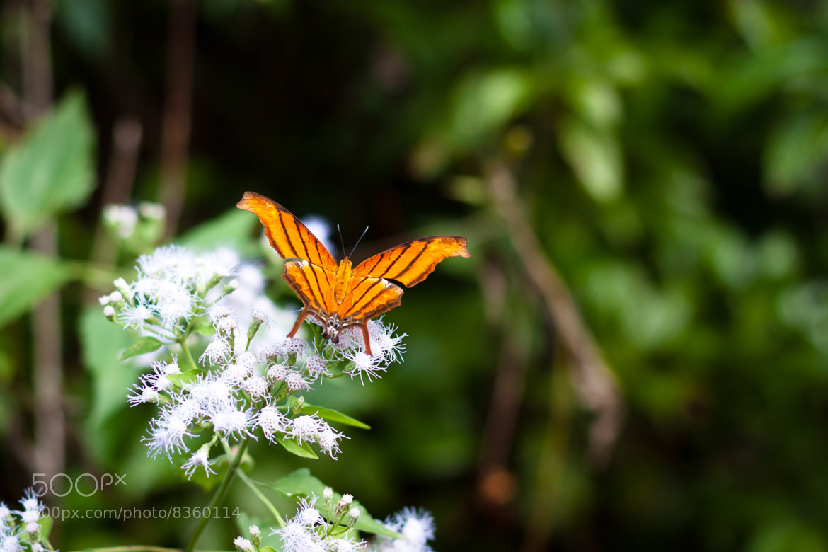 Photograph ruddy daggerwing by Moon Lee on 500px