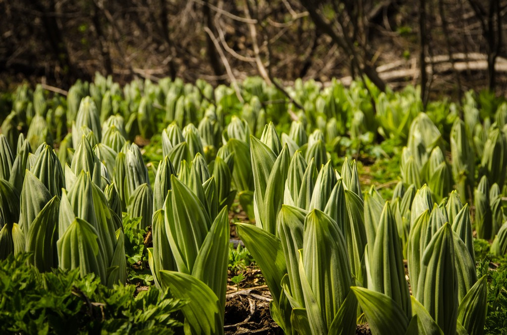 Photograph Skunk Cabbage by Joe Hudspeth on 500px