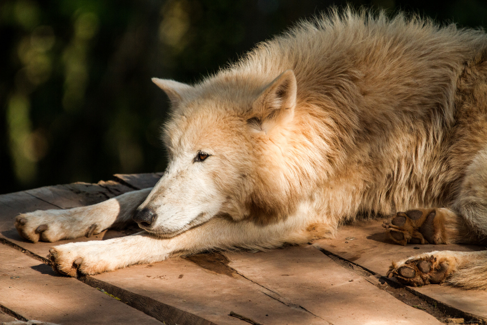 Photograph Wolf by Philipp K on 500px