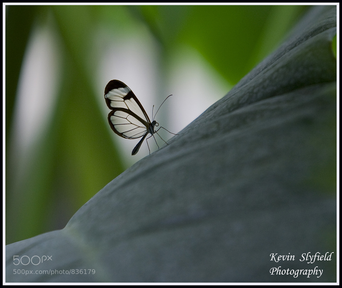 Photograph glasswing butterfly by kevinslyfield on 500px