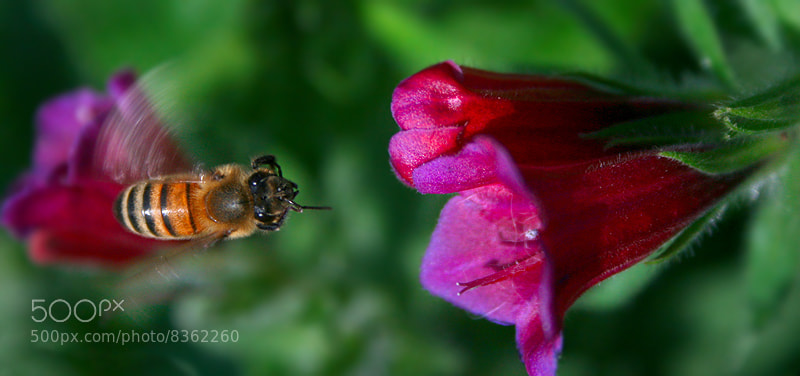 Photograph Flower and Bee . . by mohsen rezapour on 500px