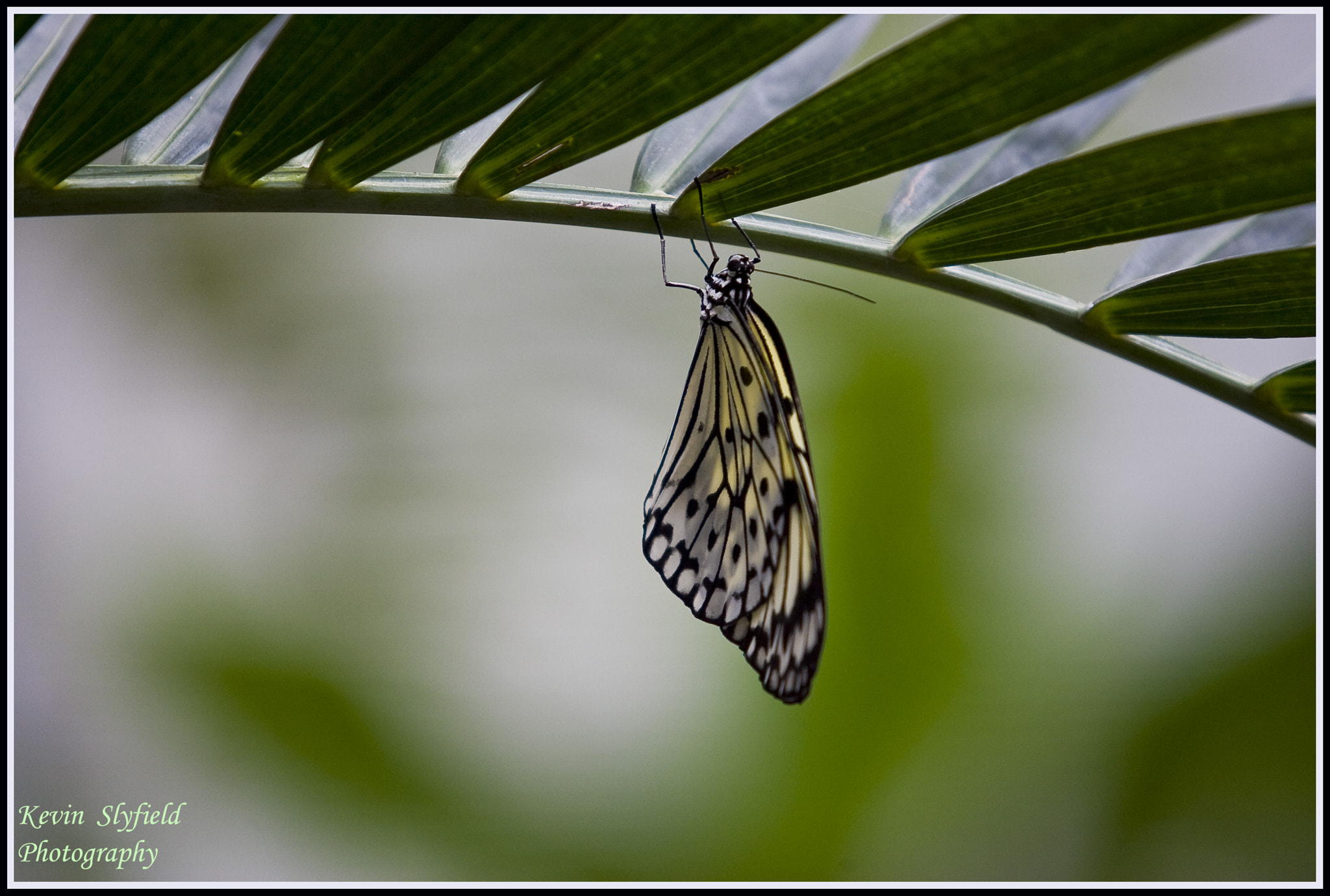 Photograph tree nymph butterfly by kevinslyfield on 500px