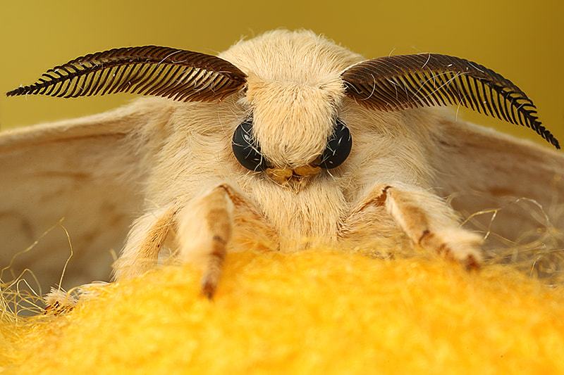Photograph Bombyx mori by Paulo Torck on 500px