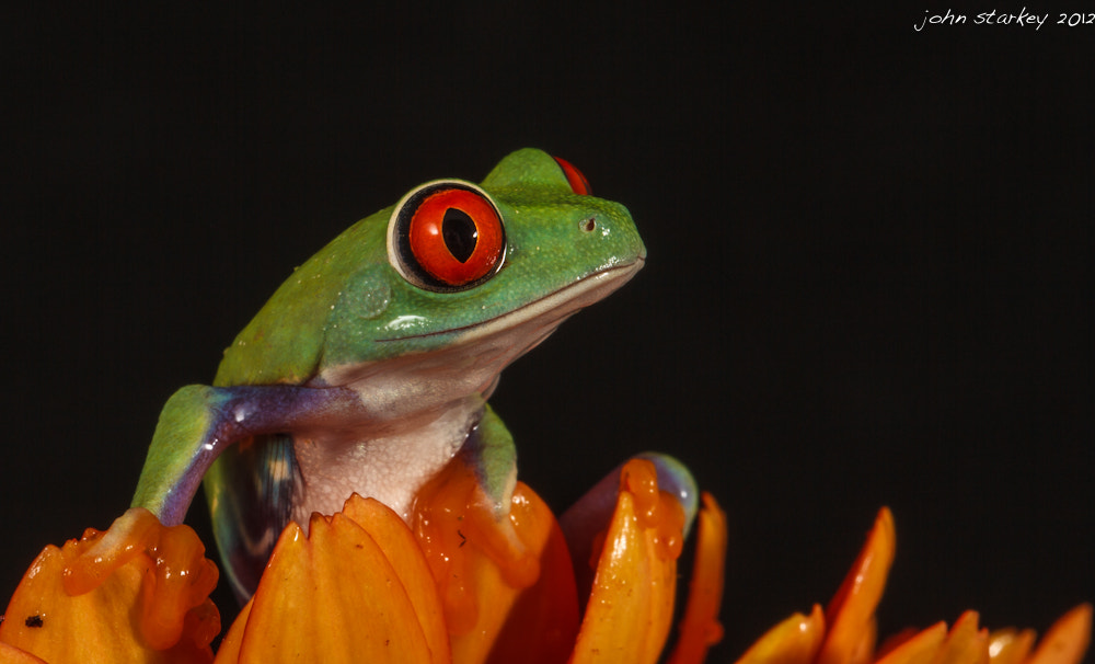 Photograph Red Eyed Tree Frog by John Starkey on 500px